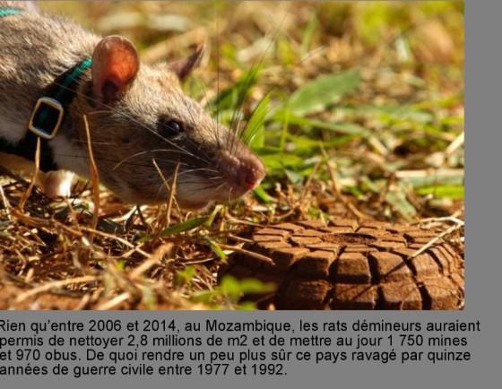 rats-demineurs